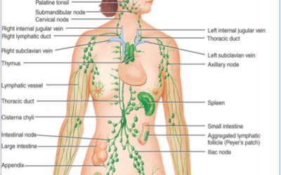 The Lymphatic System – Sharon Edwards